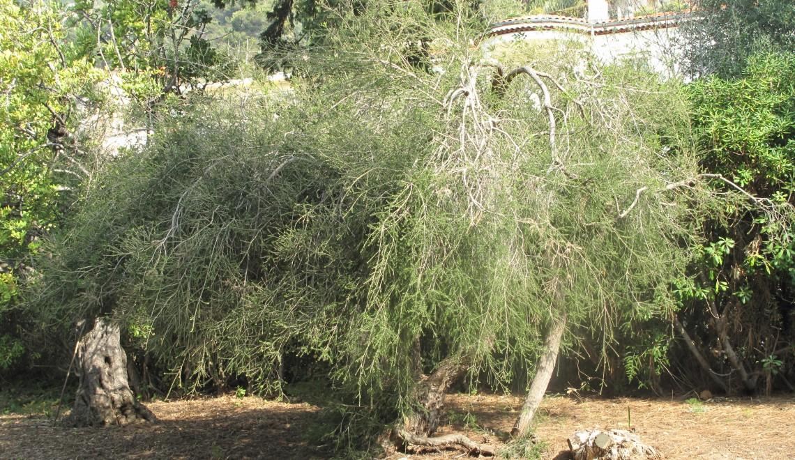 Arborele de ceai – aliatul tău de nădejde pentru frumusețe
