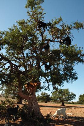 copac-argan