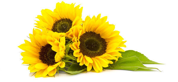 benefits-of-sunflowers