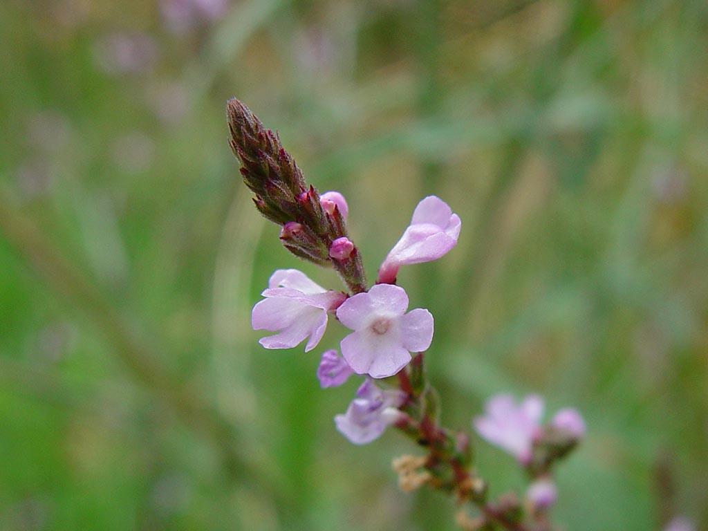 Verbena_officinalis2